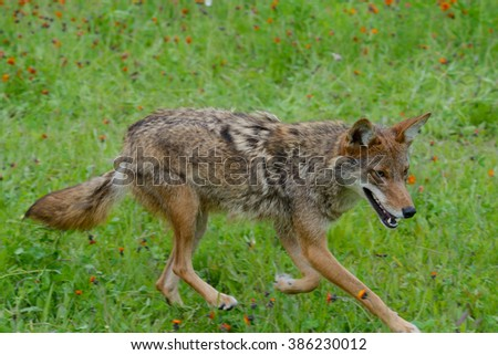 Adult Coyote walking through green grass. - stock photo