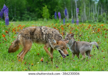 Adult Coyote with baby Wolf pup in field of wildflowers. - stock photo