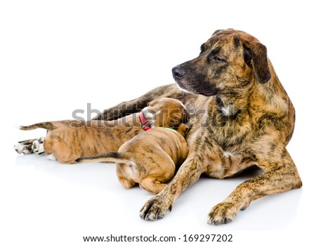 adult dog feeds the puppies. isolated on white background - stock photo