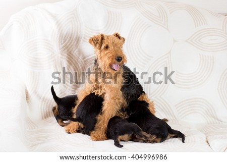 Adult dog feeds the puppies on sofa - stock photo