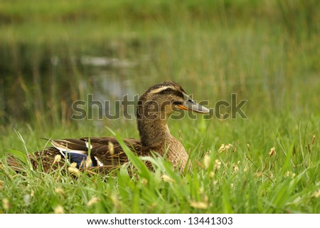 adult duck is sitting on the lakeside in green grass