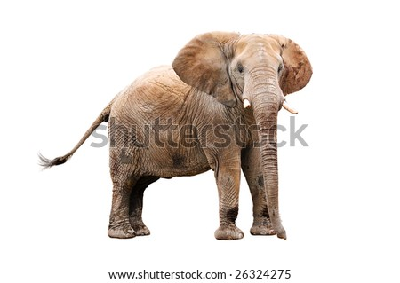 adult elephant isolated on white with clipping path - stock photo
