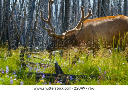 Adult Elk Close-up Yellowstone National Park - stock photo