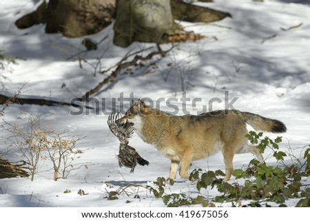 Adult Eurasian wolf (Canis lupus lupus) running with caught prey, in the forest in snow, Germany - stock photo