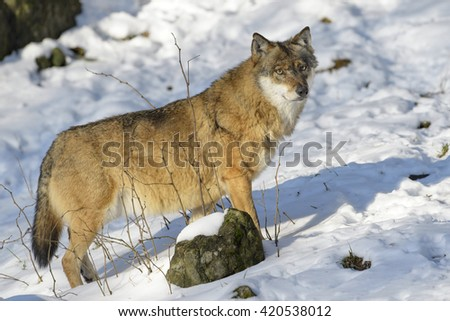 Adult Eurasian wolf (Canis lupus lupus) standing in the forest in snow, Germany