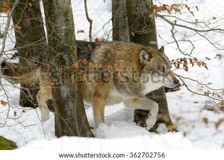 Adult Eurasian wolf (Canis lupus lupus) walking between trees and in the snow, Germany - stock photo