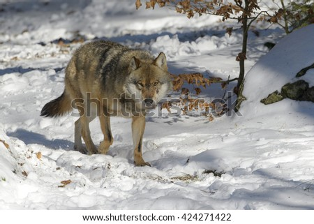 Adult Eurasian wolf (Canis lupus lupus) walking in the forest in snow, Germany - stock photo