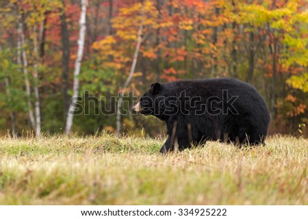 Adult Female Black Bear (Ursus americanus) Walks Left - captive animal
