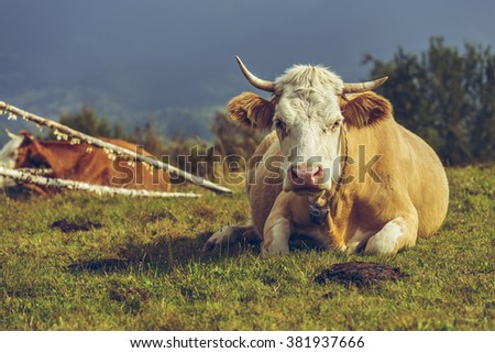 Adult female cow resting on the grass. Ecological livestock breeding. Cow dung, a natural ecological fertilizer, a renewable and stable source of green organic energy, used to produce biogas. - stock photo