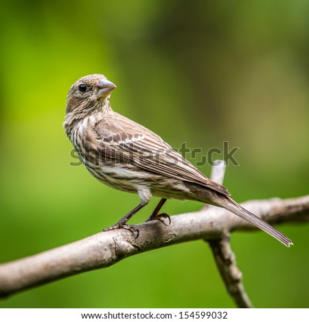 Adult female house finch perched on a branch - stock photo