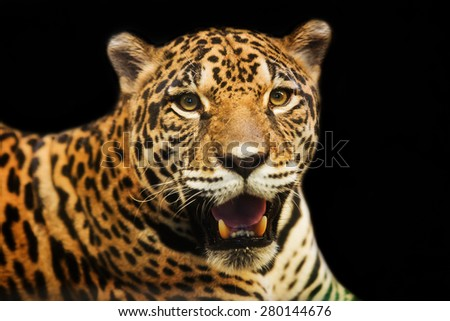 Adult Female Jaguar sitting on the rock looking into the camera - stock photo