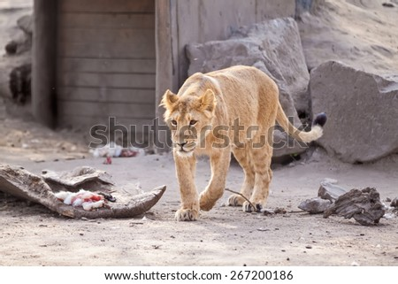 Adult Female lion with prey