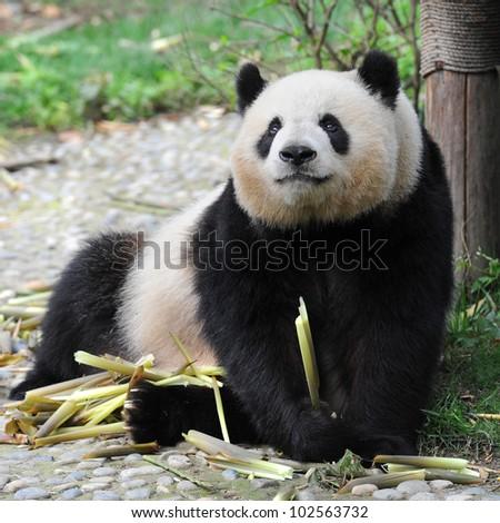 Adult giant panda bear eating bamboo shoots - stock photo