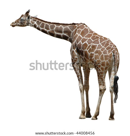 Adult Giraffe Isolated on White Background - stock photo