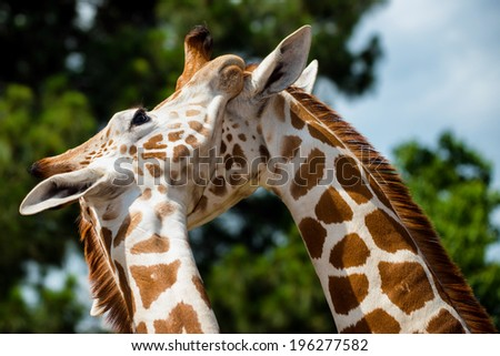 Adult giraffes grooming each other - stock photo