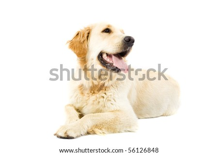 Adult Golden Retriever isolated on white background - stock photo