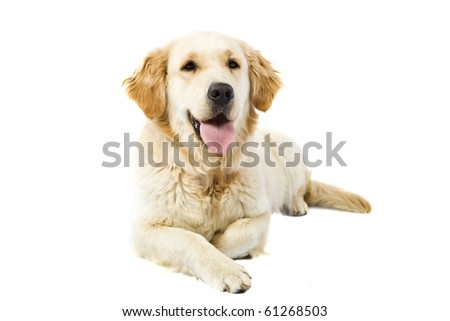 Adult Golden Retriever isolated on white background