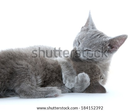 Adult gray cat giving kitten a bath on white background - stock photo