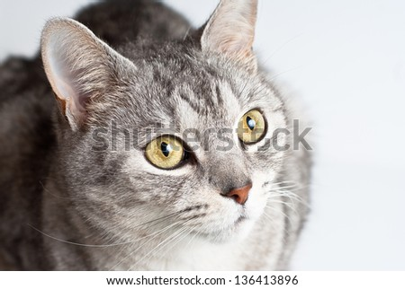Adult gray close up from above view portrait sitting and pay attention taking up his head on white background - stock photo