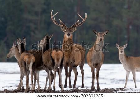 Adult entreteinment in red deer
