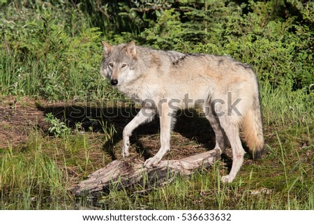 adult grey wolf standing on river bank looking into camera