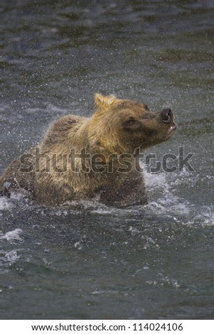 Adult Grizzly Bear shakes dry after snorkelling for Salmon on Brooks River - stock photo