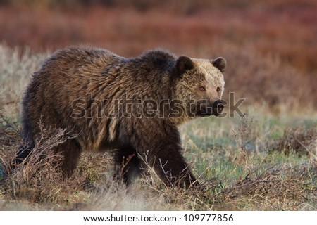 Adult Grizzly Bear walking through a meadow in beautiful soft early morning light, Yellowstone National Park Montana / Wyoming - stock photo