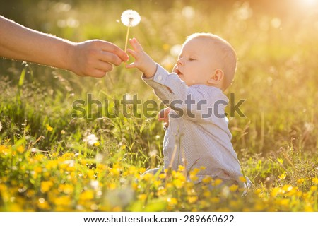Adult hand holds baby dandelion at sunset Kid sitting in a meadow Child in field Concept of protection Allergic to flowers pollen Allergy Backlit Sun Light Autumn Glow Sunshine Learning new Education - stock photo