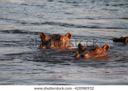 Adult hippopotamus swimming in the Zambezi River, the border between Zimbabwe and Zambia, Africa. - stock photo