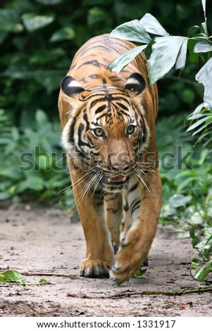Adult Indochinese tiger on the prowl - stock photo