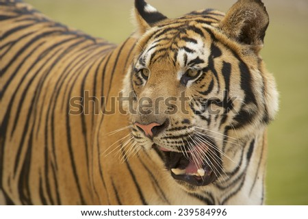 Adult Indochinese tiger. The Indochinese tiger (Panthera tigris corbetti) is a tiger subspecies found in the Indochina region of Southeastern Asia. - stock photo
