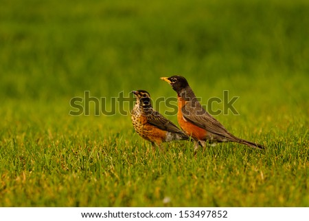 ADULT & JUVENILE ROBINS HUNTING