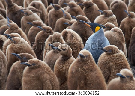 Adult King Penguin (Aptenodytes patagonicus) standing amongst a large group of nearly fully grown chicks at Volunteer Point in the Falkland Islands.  - stock photo