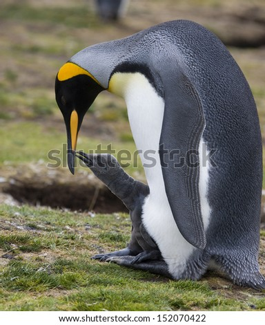 Adult King Penguin with chick at Volunteer Point on the Falkland Islands - stock photo