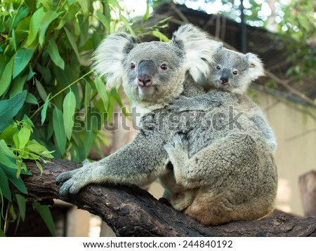 Adult koala sitting on a branch and holds on his back a little baby on the background of green leaves