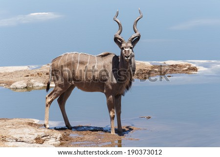 Adult Kudu at Etosha National Park in Nambia, Africa - stock photo