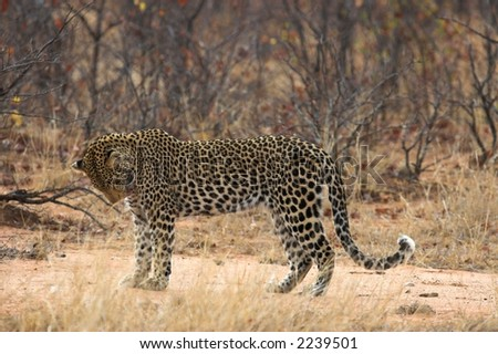 Adult leopard pausing for a moment to groom itself