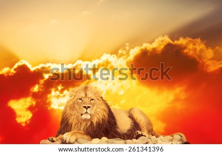 adult lion lies against bright sunrise - stock photo