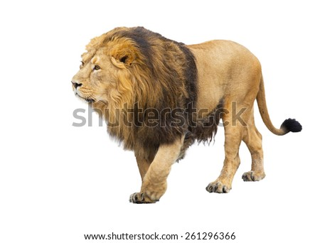 adult lion takes a step, is isolated on a white background - stock photo