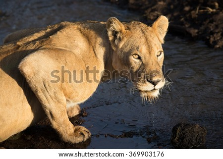 Adult Lioness drinking water from a stream in the Ngorongoro Crater, Tanzania - stock photo
