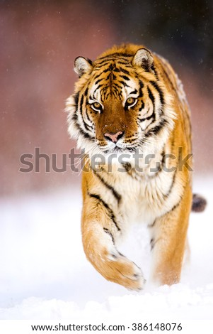 Adult male amur tiger is walking proudly on the snow as catwalk style.His head and forelegs and one of the paws can seen clearly.Amur tiger have stripes and are a shade of orange in color. It's winter - stock photo