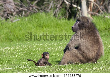 Adult male chacma baboon watching out over his baby son - stock photo
