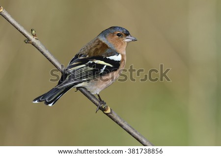 Adult male chaffinch in winter