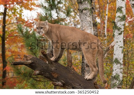 Adult Male Cougar (Puma concolor) Looks Out from Branch - captive animal