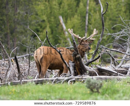 Adult male elk with velvet antlers chewing grass while standing among dead trees. Photographed in natural light in Yellowstone National Park.