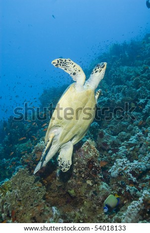 Adult male Hawksbill turtle (eretmochelys imbricata) swimming away from a tropical coral reef. Thomas reef, Sharm el Sheikh, Red Sea, Egypt.