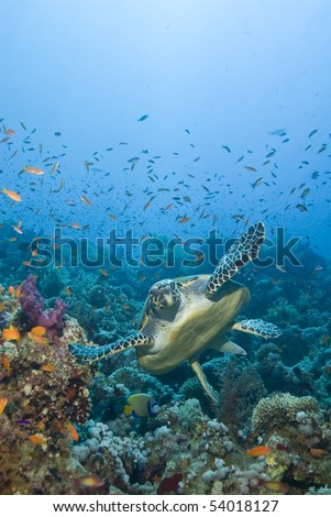 Adult male Hawksbill turtle (eretmochelys imbricata) swimming close to a tropical coral reef. Thomas reef, Sharm el Sheikh, Red Sea, Egypt.