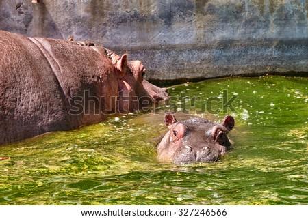 Adult male Hippopotamus, Hippopotamus amphibius in the natural habitat. - stock photo