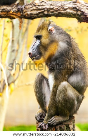 Adult male mandrill - stock photo