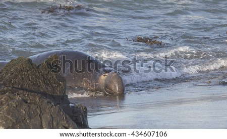 Adult Male Northern Elephant Seal at Piedras Blancas Elephant Seal Rookery - stock photo